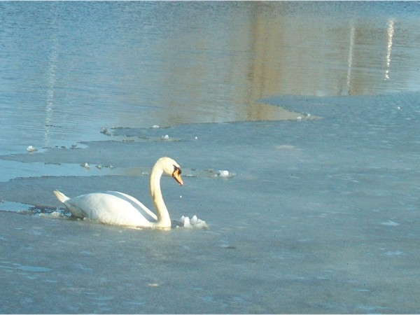 Sayreville swans