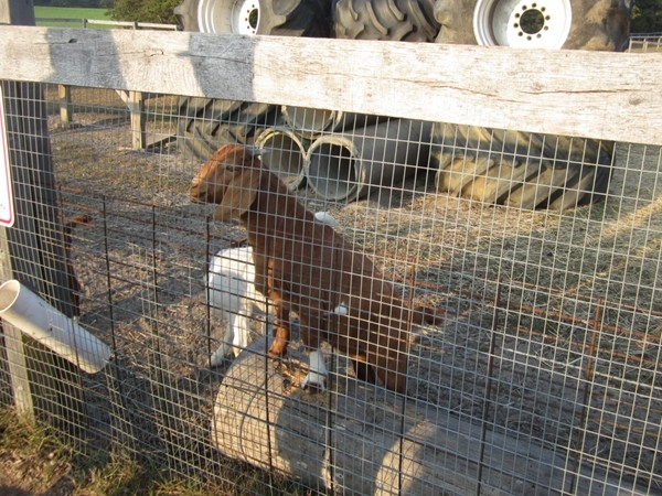 Farm animals at Emery's now includes a minature donkey,sheep,goats,chicken and ginny hens.