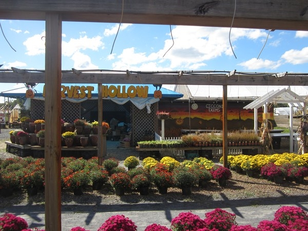 Cicconi Farms,  a wholesale perennial supplier