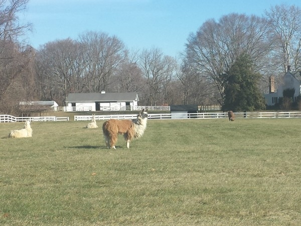 Alpaca Farm in Lumberton.  Call me to find out where you can see it.