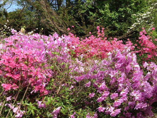Annual Mother's Day Azalea Festival - Sayen Gardens, Hamilton