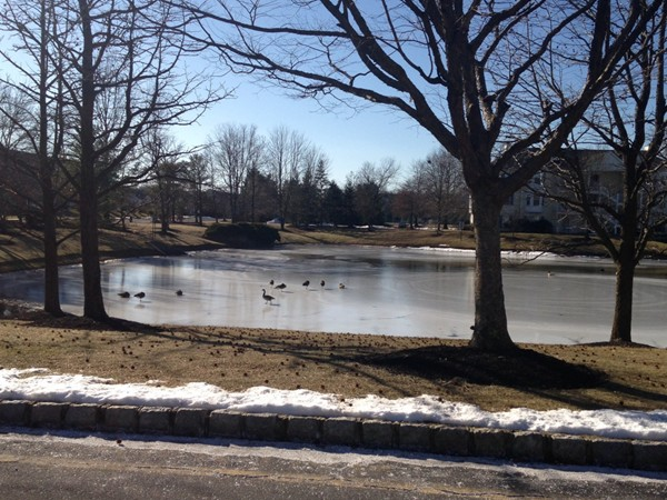 Ducks on ice (can't wait for spring)