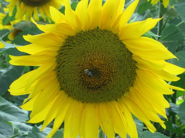 Busy bee enjoying the sunflowers