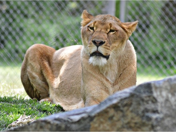 Hear the lion roar at Cape May County Zoo