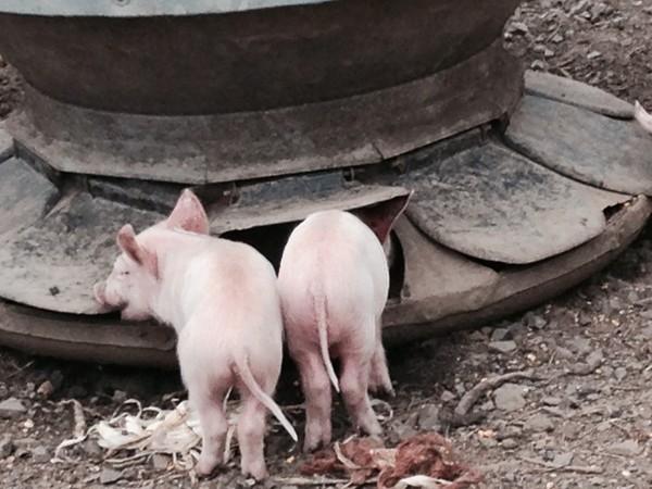Ort Farm has some cute little piggies