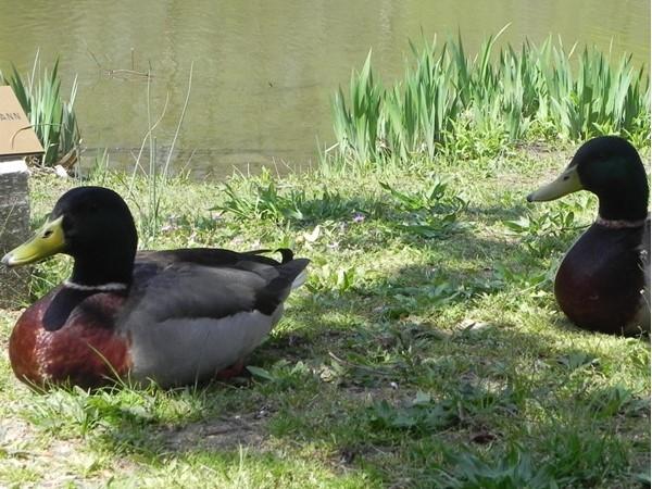 Ducks enjoying the Koi Pond in Washington Lake Park