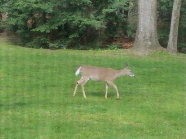 Oh my deer! East Brunswick backyard visitor