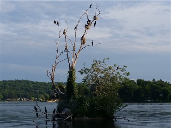 Water birds claim an old tree at Lake Mohawk in Sparta. They can be seen nesting or fishing