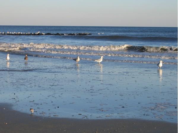 Seagulls on the beach at Sea Isle City