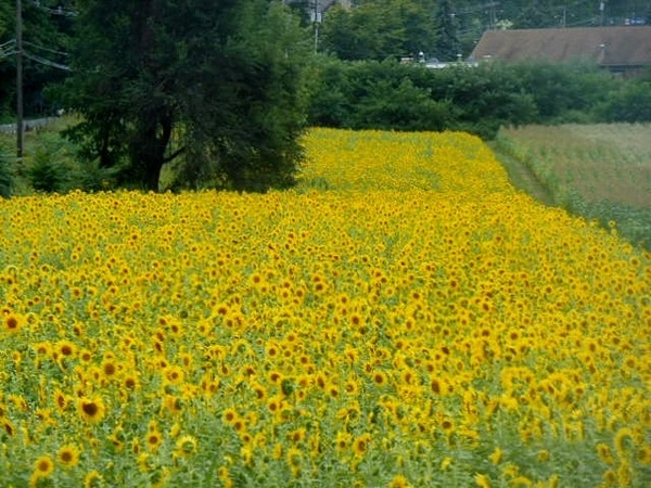 Sunflower field located on Route 94, Vernon