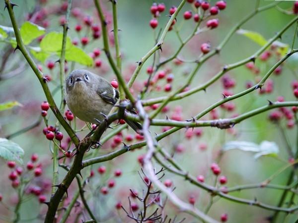 Beautiful bird enjoying summer berries in Cape May Point