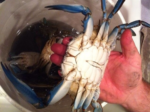 The Famous Jersey Blue Claws Crabs