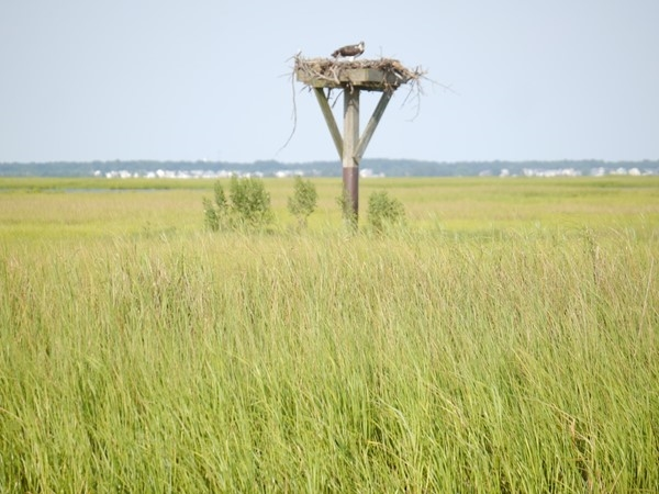 One of many, many occupied Ospray nest in the Little Egg Harbor area