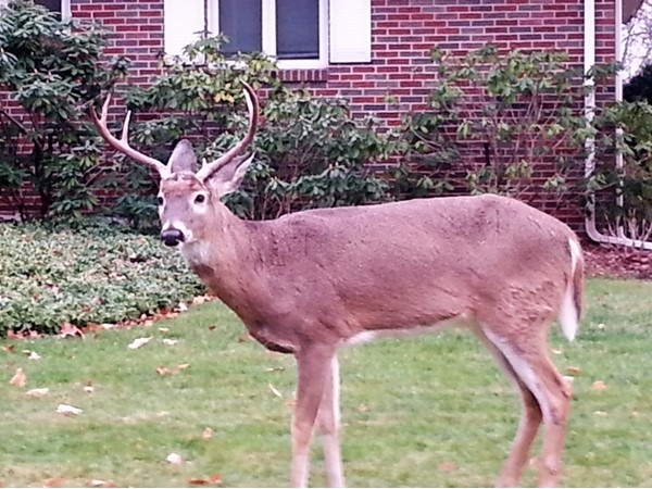 Deer on the front lawn are very common here