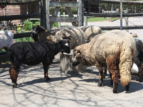 Sheep gathering on Sheep Shearing day at Van Saun County Zoo 2014