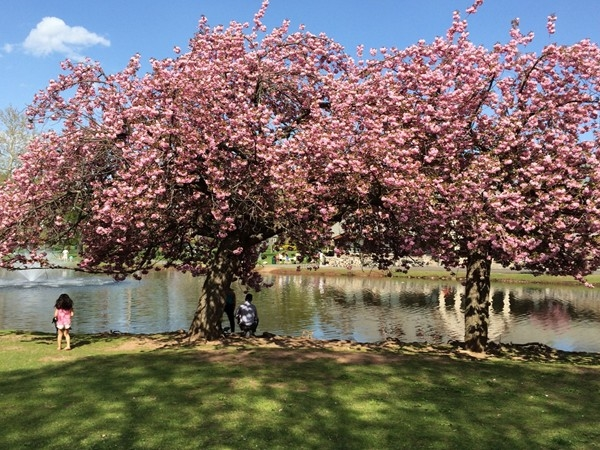 The cherry blossoms never fail to delight at Taylor Park on Main Street