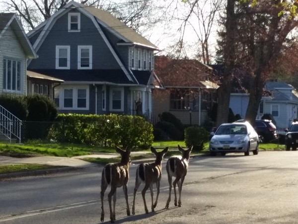 Deer taking a morning stroll through our neighborhood