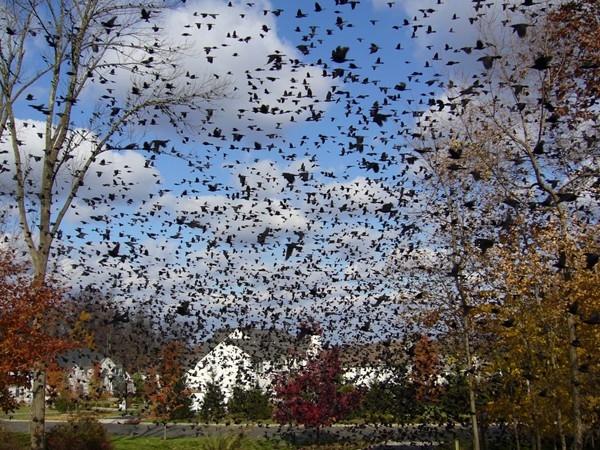 Greenwood Meadows autumn black bird gathering