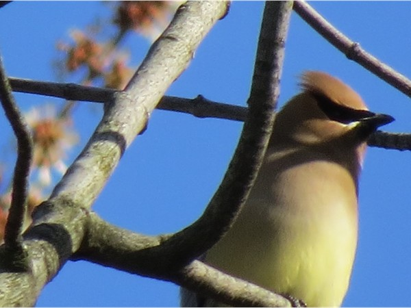 "Back yard birding is another perk of living in the ""country"". Cedar Wax Wing May, 2014"