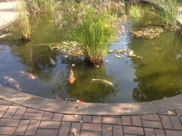 Koi pond in deepcut gardens middletown nj for Koi fish for sale nj