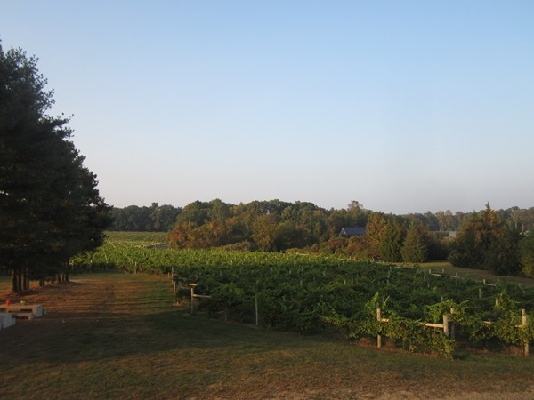 Acres of vineyards at Lauritas Winery
