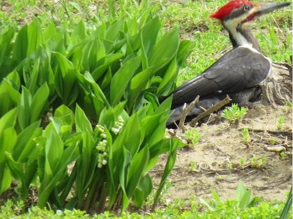 Back yard birding In Vernon.  Pileated Woodpecker