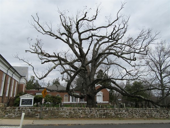 The famed oak tree in the Presbyterian church yard, where George Washington once had a picnic