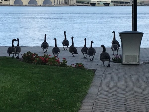 Geese along the River Walkway