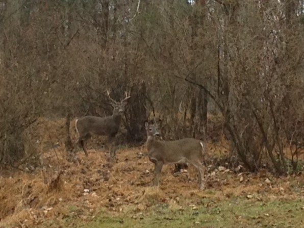 Buck and a doe, are we looking at them or are they looking at us?