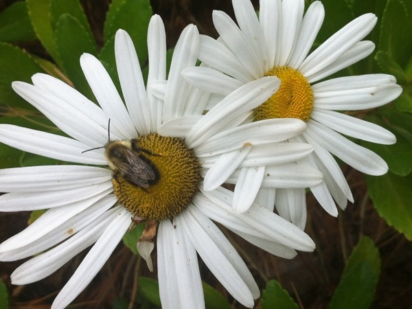 This bee is still buzzing and this daisy is still hanging in despite the weather getting cold