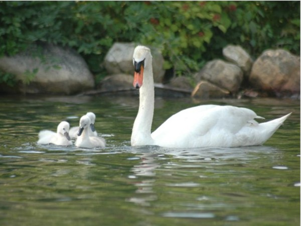 Swans at Erskine Lakes