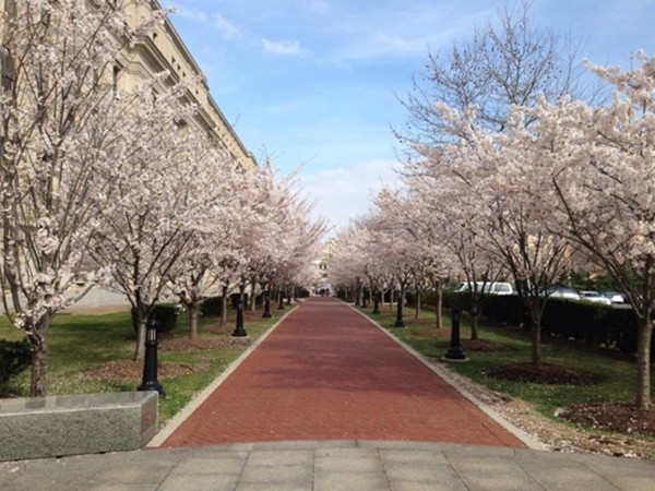 Cherry blossoms are blooming outside Essex Courthouse in Newark