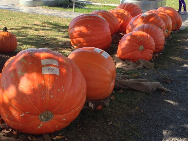 Some huge pumpkins at the Donaldson Farm