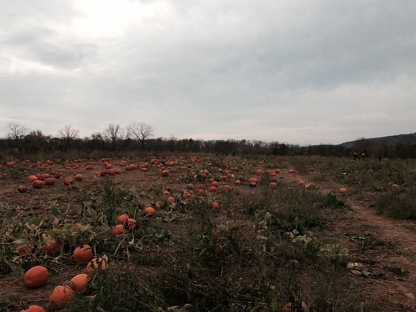 A full pumpkin patch at Ort Farm