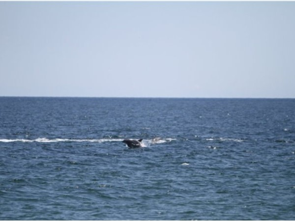 Dolphins at play at Point Pleasant Beach