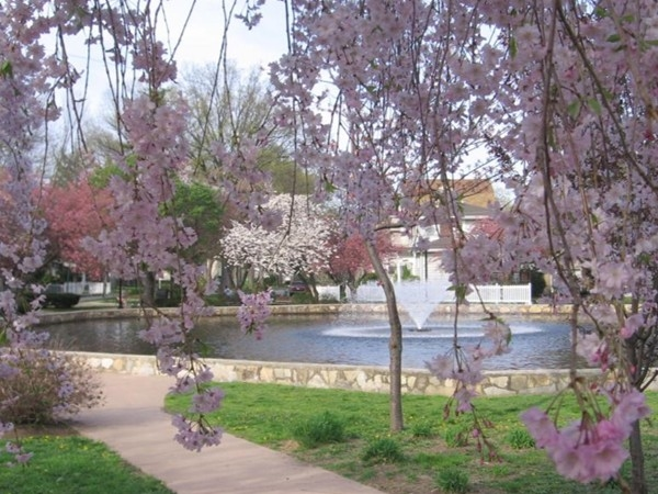 Halcon Park Pond in spring, seen thru the cherry blossoms surrounding the pond