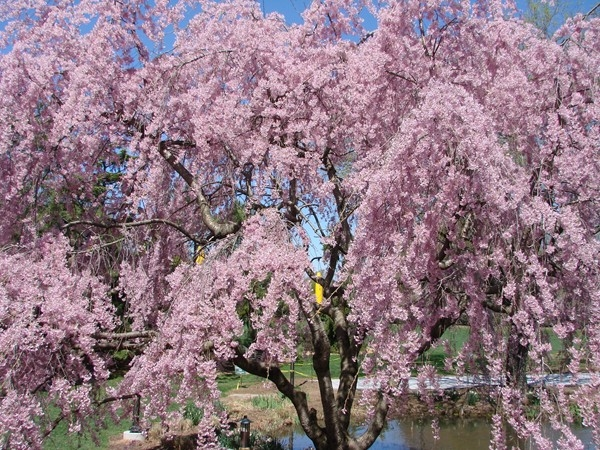 Do not miss the flower blooming at Grounds for Sculpture in April.