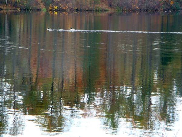 Mallards enjoying a beautiful fall day in Mirror Lake
