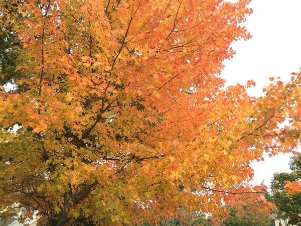 Beautiful fall foliage in the Penny Lane development. Right next to Ocean County Mall