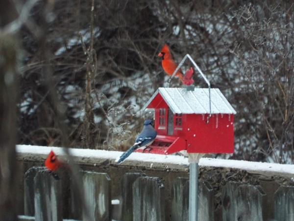 "Birds enjoying a snowy, icy day. Mother Nature showing peace in ""Red, White & Blue"" colors"