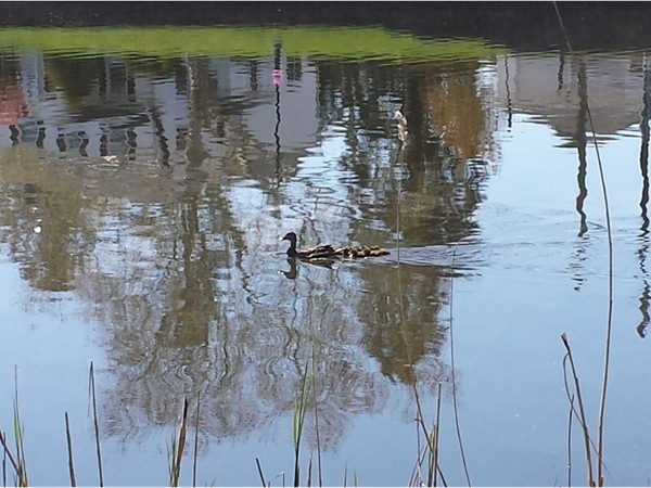 More spring wildlife at Franklin Lake - Mama duck and her ducklings