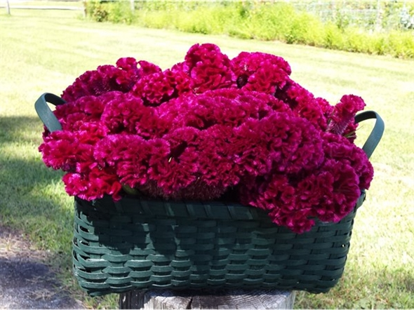 Lots of beautiful produce and flowers (celosia) coming out of the Community Garden, off North Rd