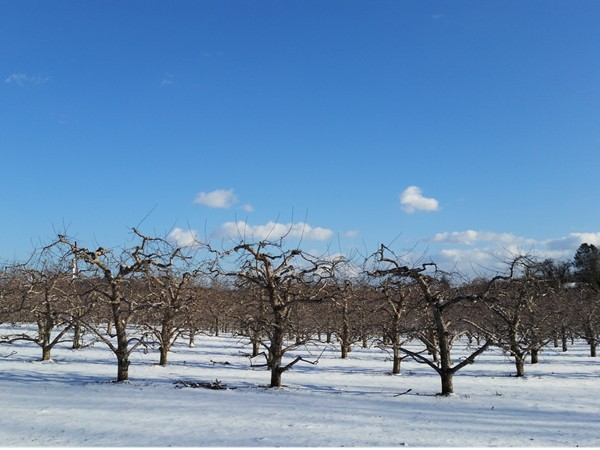 Frozen apple trees along country road