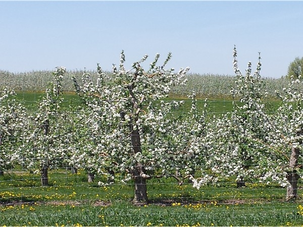 Lower Hudson Valley apple blossoms on country roads in Marlboro