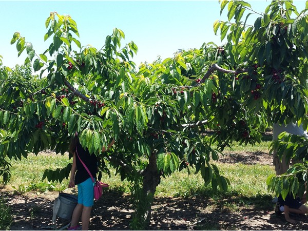 Fun for all ages at Kappus Farms in  Niagara County. Several varieties of cherries available