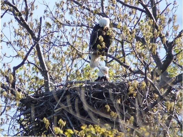 Pair of nesting eagles on Otisco Lake