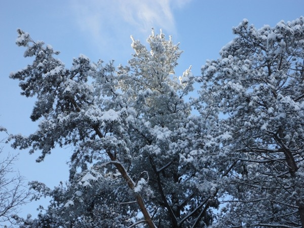Sunshine on snow-covered trees