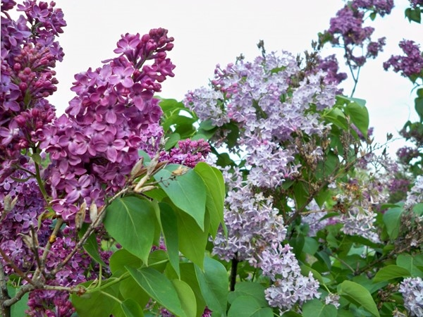 Colorful and aromatic Lilacs in Highland Park in May