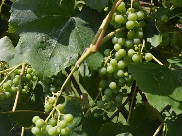 Let the stomping begin at the vineyard
