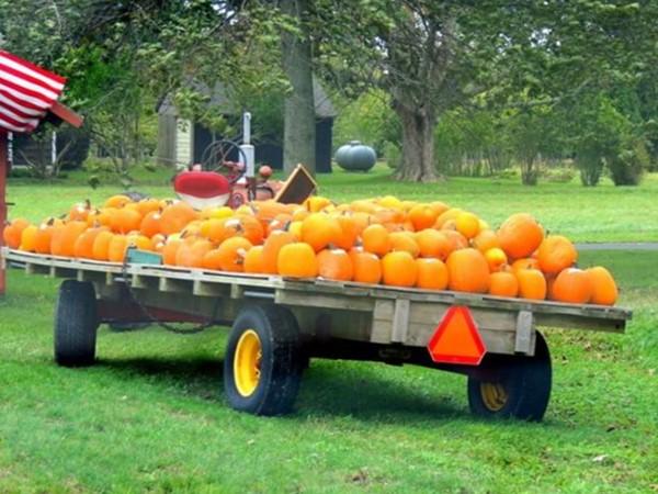 It's pumpkin time at Wainscott Farm